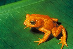 The Golden Toad of Costa Rica, extinct since around 1989. Its disappearance has been attributed to climate change.